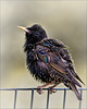 One Fat Starling