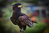 Eagle, Schmeagle!