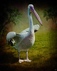 Phineas Pelican