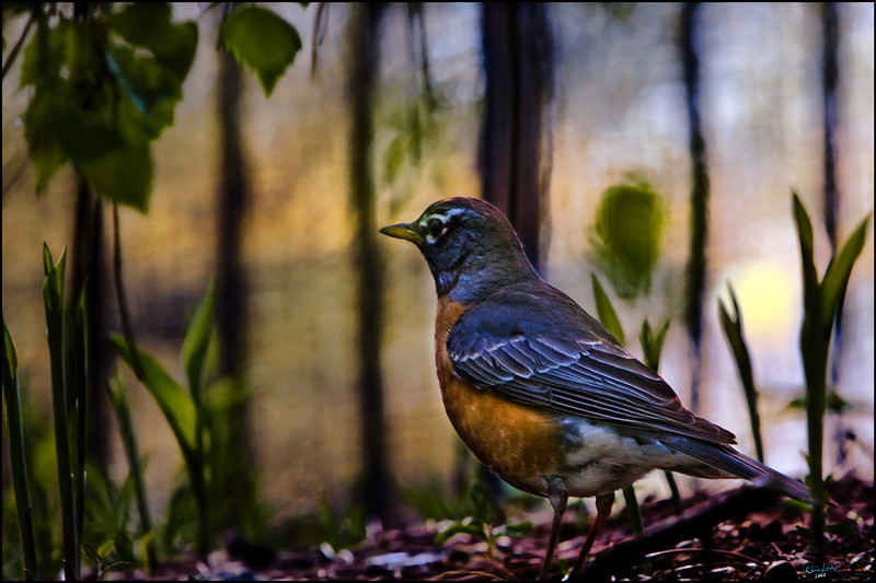 Mrs. Red Breast