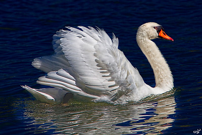 The Royal Swan
