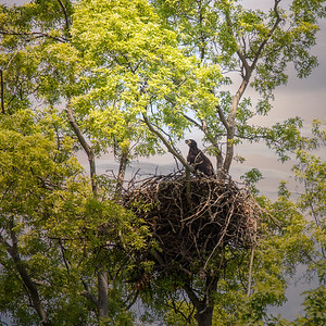Baby Eagle In The Nest