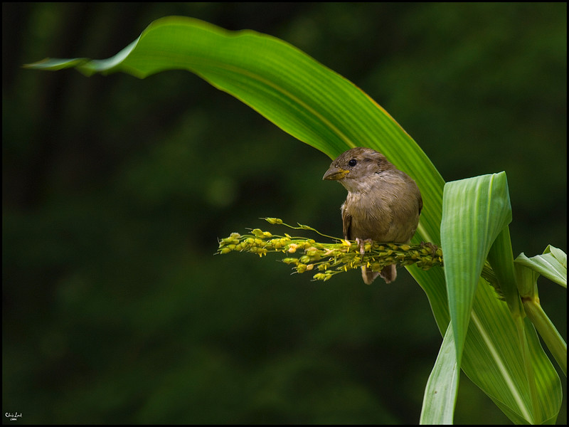 A Sparrow In The Corn
