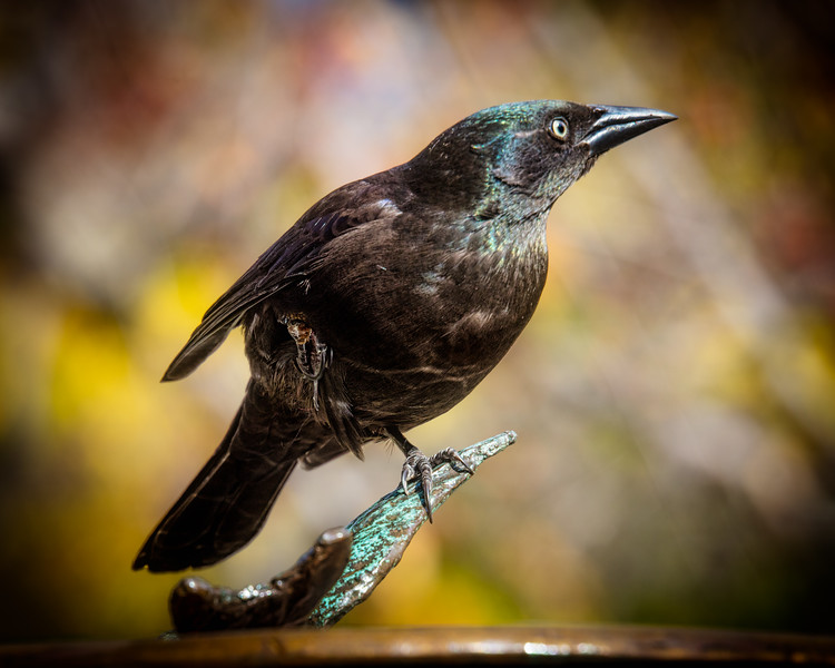 Mrs. Common Grackle