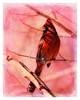 Cardinal In A Thorn Tree