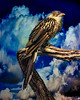 Brazilian Guira Cuckoo II