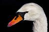 A Wet Swan In Prospect Park