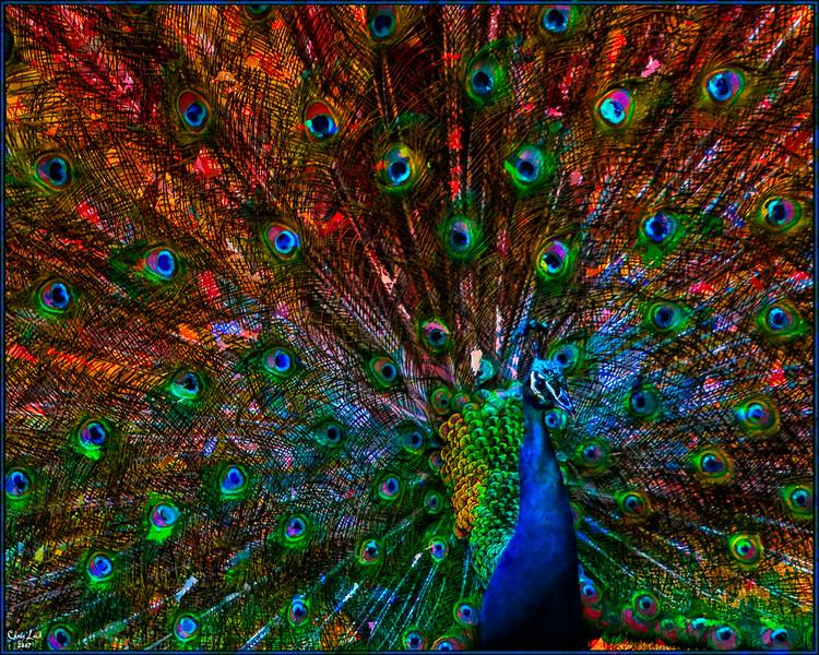 Classic Peacock Portrait