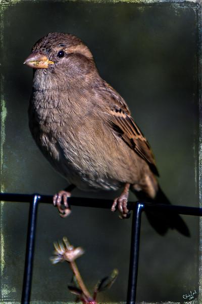 Portrait of a Simple Sparrow