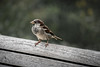 Highline Sparrow