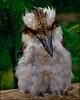 Kookaburra, Kookaburra