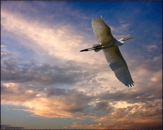 Flying Egret At Sunset