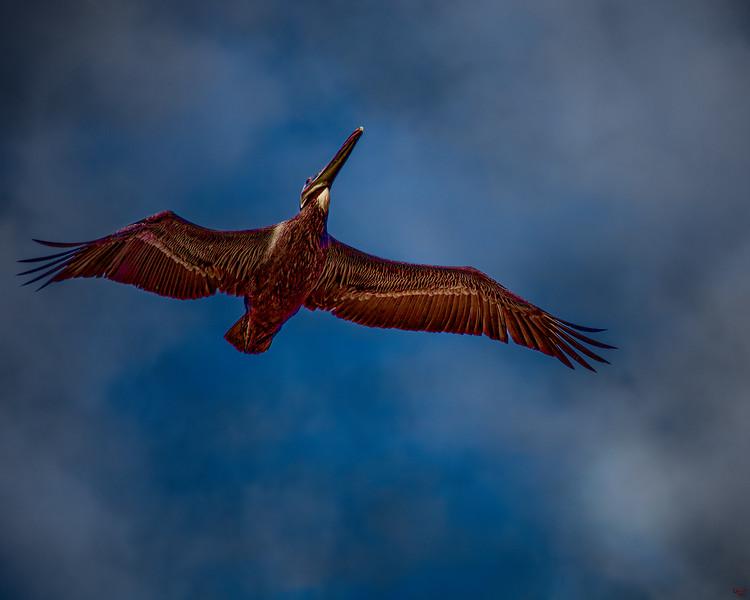 Misty Morning Pelican