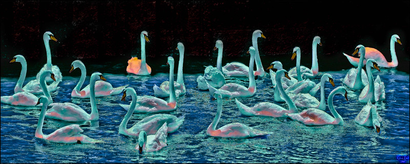 A Fantasia Of Swans