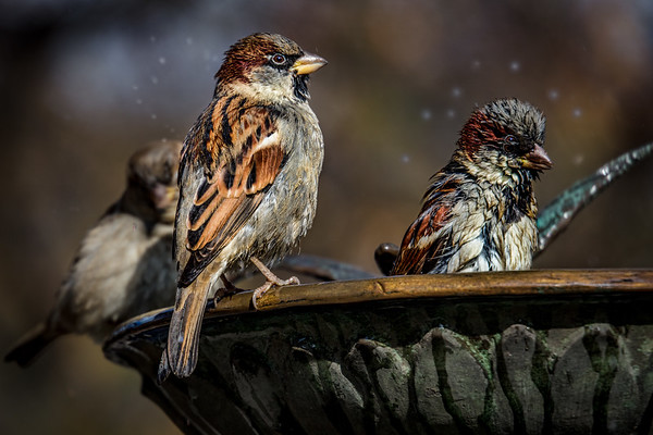 Bath Time For Sparrows