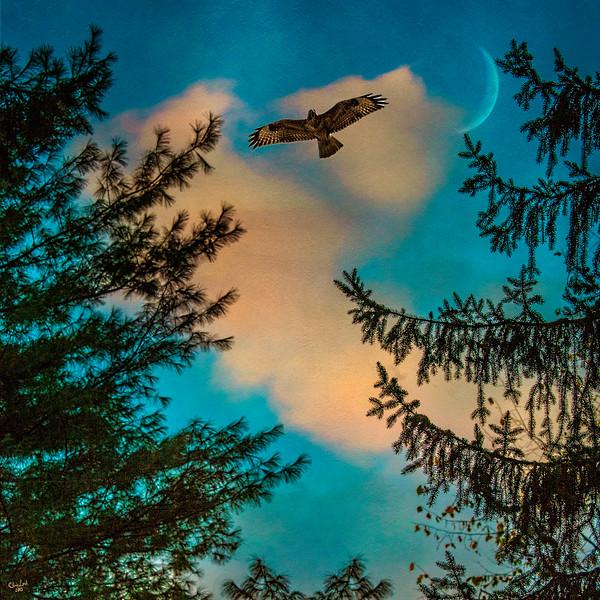 Sunset Hawk