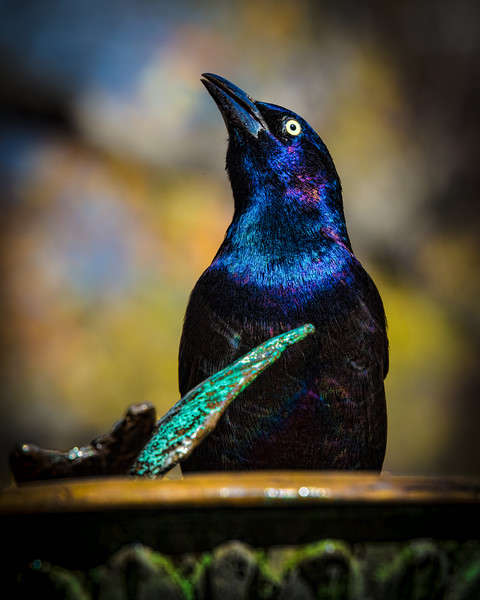 Mr. Common Grackle