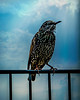 Starling on the Fence