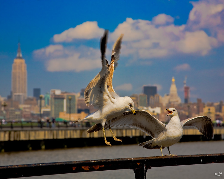You've Heard About Those Jersey Gulls