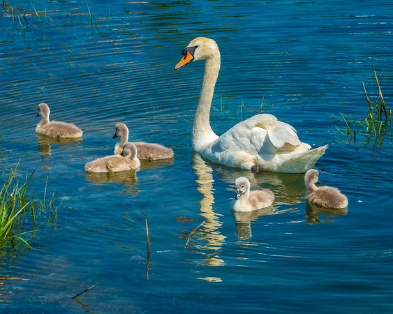 Mother Swan & Her Cygnets