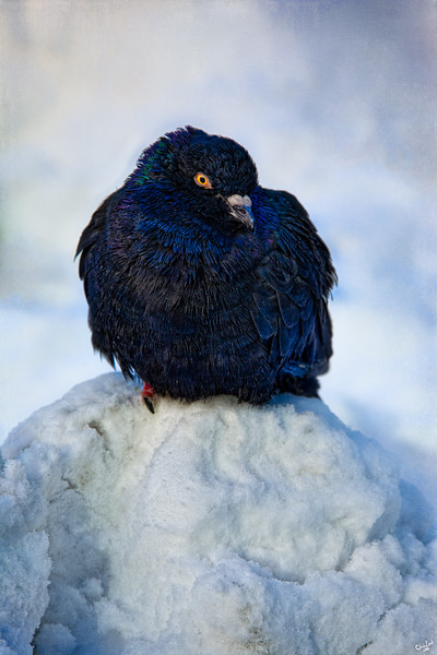 King of the Snow Pile<br /> The ruler of the roost in Bryant Park, New York