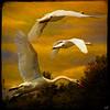 Swans Trio