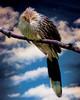 Brazilian Guira Cuckoo