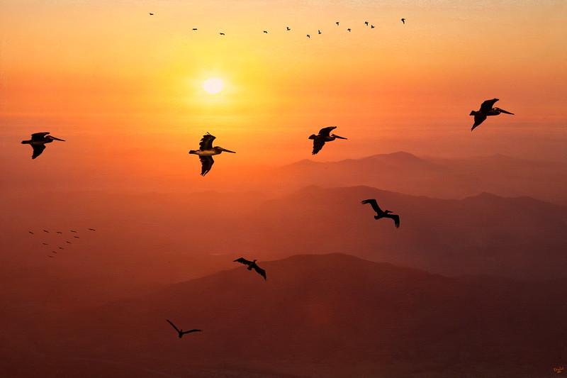 Pelican Migration