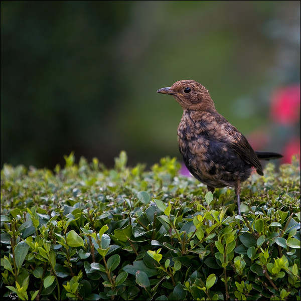 Sitting On the Hedge............