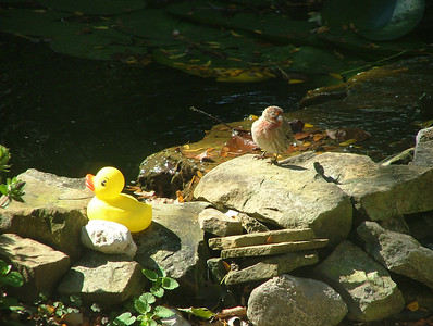 I must admit, I planted the rubber duck to see how the birds, chipmunks and squirrels would react to it. This is the only good picture taken of a reaction. A chipmunk did go up to the duck and climbed on it, but the camera was not in reach at the time.