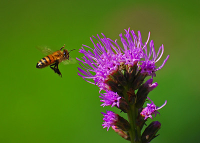 Kung Fu Bee. It looks like this bee plans to chop down this Blazing Star flower with its swift Kung Fu moves