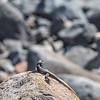 Lizard on the Rocks, Galilee, Israel