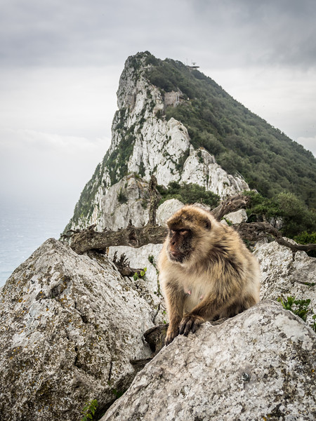 Macaque on the Rock, Gibraltar
