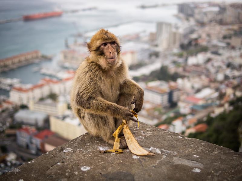 Macaque with a Banana, Gibraltar