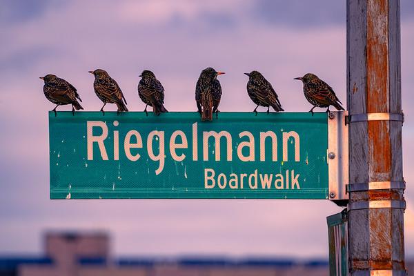 Boardwalk Starlings
