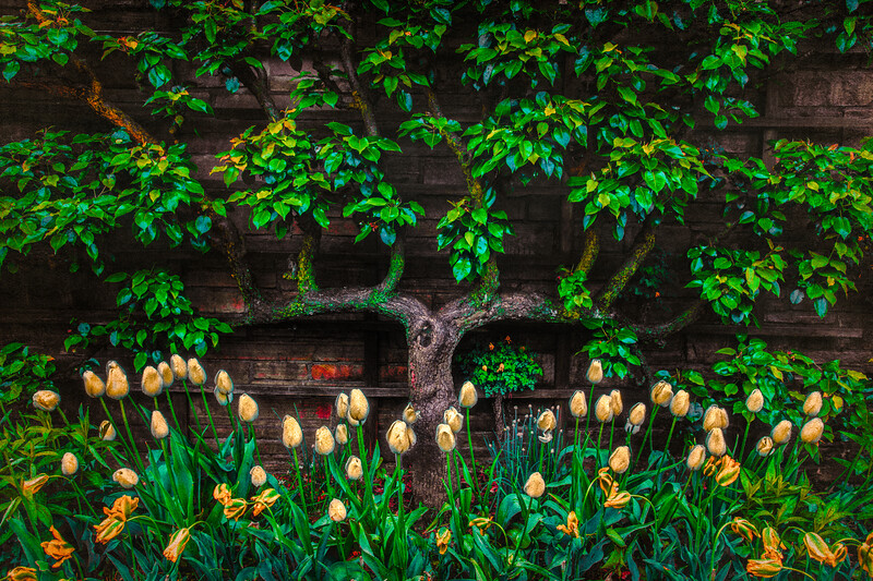 Pear Tree Trellis With Tulips