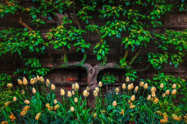 Pear Tree Trellis With Tulips