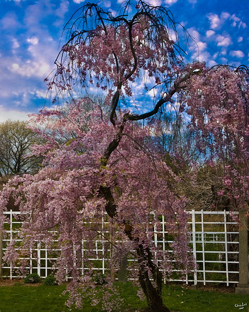 An Asian Cherry Tree At The Brooklyn Botanical Garden