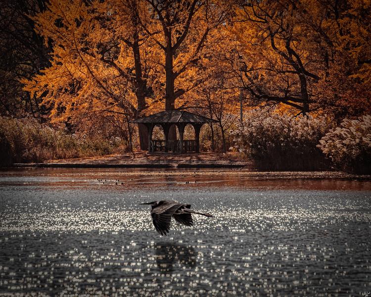 Heron Flyby In Prospect Park