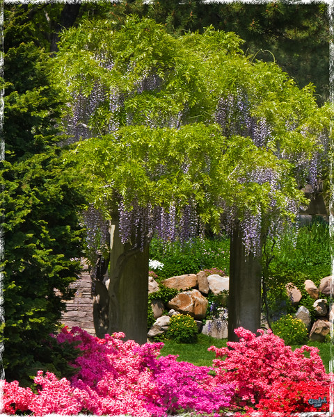 Wisteria, A Spring Display at Brooklyn Botanical Garden