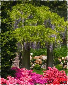 Wisteria, A Spring Display at Brooklyn Botanical Garden