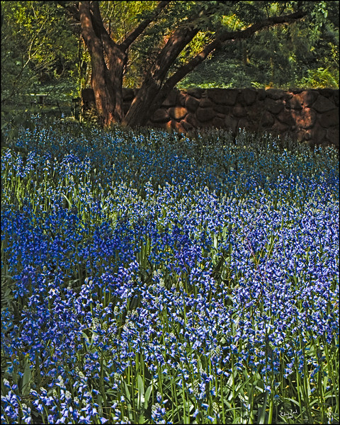 Bluebells, A Spring Display at Brooklyn Botanical Garden