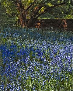 Bluebells, A Spring Display at Brooklyn Botanical Garden