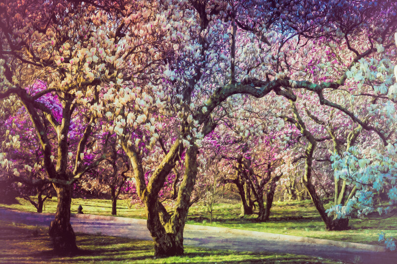 Magnolias à la Renoir