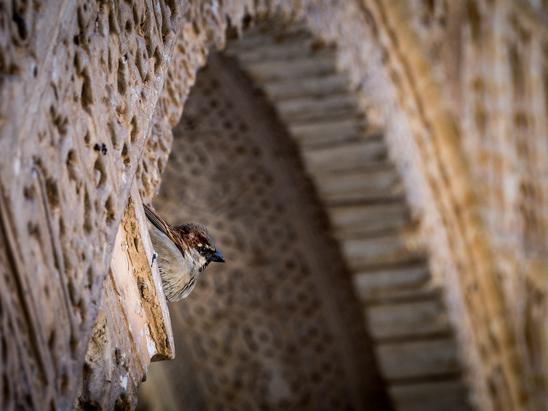Little Sparrow visits the Alhambra, Granada, Spain