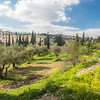 Orchard on the Mount of Olives, Jerusalem