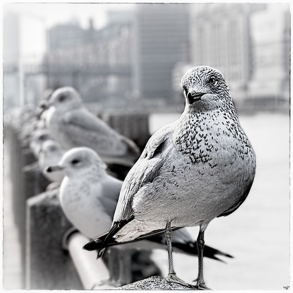 New York Gulls
