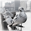 New York Gulls