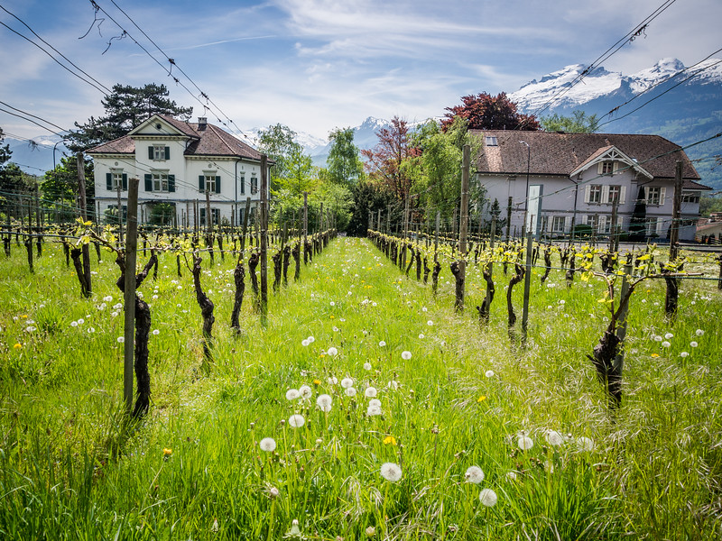 Alpine Vineyard, Vaduz, Liechtenstein
