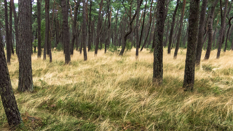 Twisted Woods, Curionian Spit, Lithuania